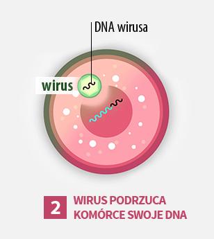 2gi etap cyklu życia wirusa