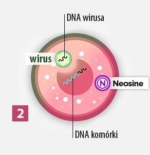 2gi etap sposobu działania Neosine