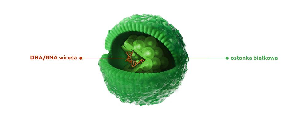 wizualizacja budowy przekroju wirusa